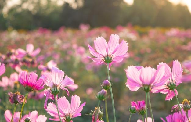 Розовый полевых цветов луг на поле.