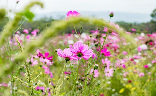 Розовый полевой луг на поле