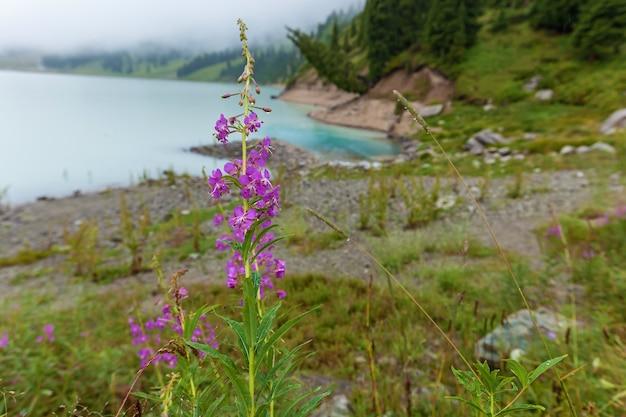 大きなアルマトイ湖の背景に雨滴とピンクの野花