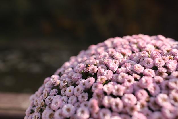 テキスト用のスペースとピンクの冬菊の花。庭の菊