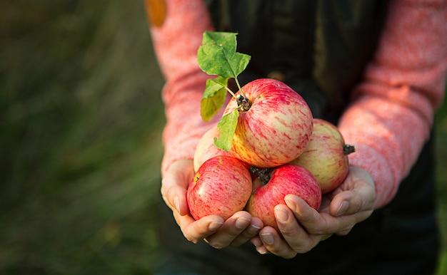 Розовые с полосками свежие яблоки из веток в женских руках на темно-зеленом фоне. праздник осеннего урожая, сельское хозяйство, садоводство, день благодарения. теплая атмосфера, натуральные экологически чистые продукты