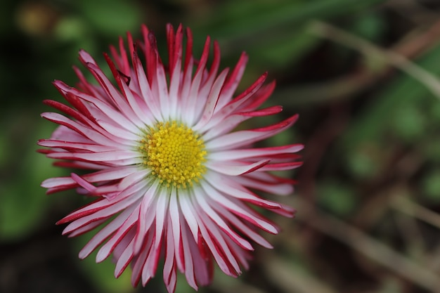 Pink with white spring flowers with a fluffy yellow center on a sunny day