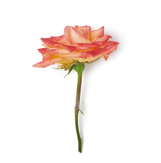 Pink yellow blooming rose isolated on white background