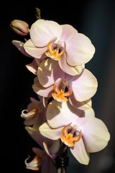 Розовый желтый цветок орхидеи на темном фоне