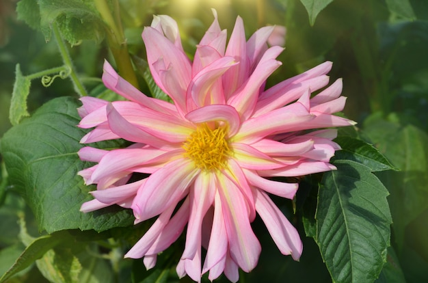 Pink and yellow spider dahlia flower