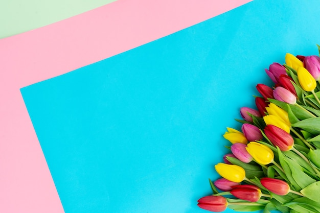 Pink, yellow and violet tulips flowers over plain blue and pink background with copy space