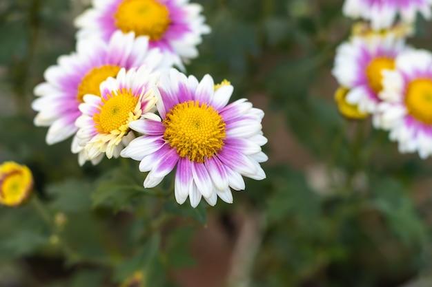 흰색 aster alpinus 또는 고산 과꽃 또는 정원의 고산 데이지 꽃이있는 분홍색 노란색