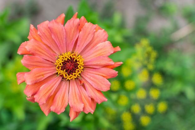 Pink zinnia closeup, beautiful unpretentious summer flower in the garden