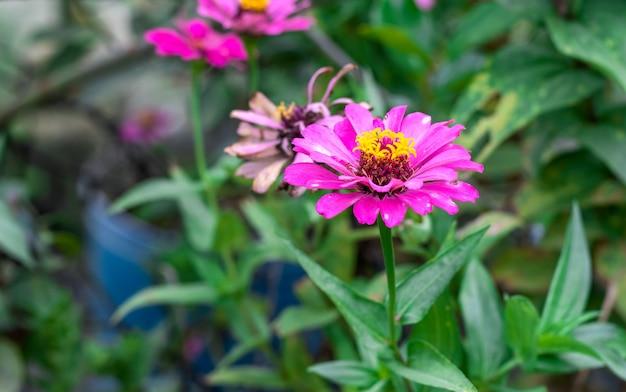 ピンクの百日草の花がぼやけた背景で庭にクローズアップ