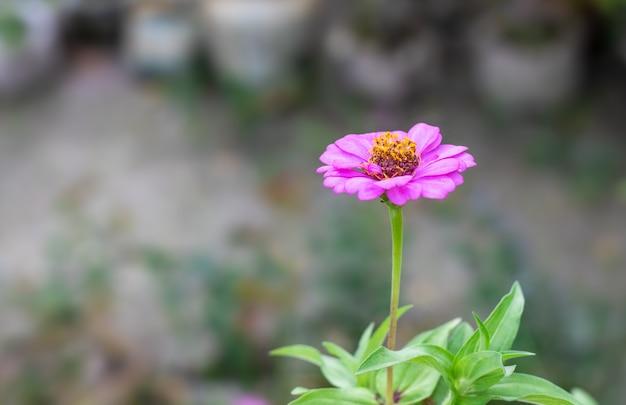 ピンクの百日草の花がコピースペースのある庭にクローズアップ