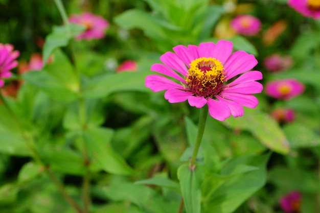 Pink zinnia flower in nature