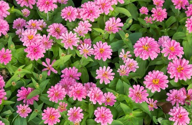 Pink zinnia flowers top view