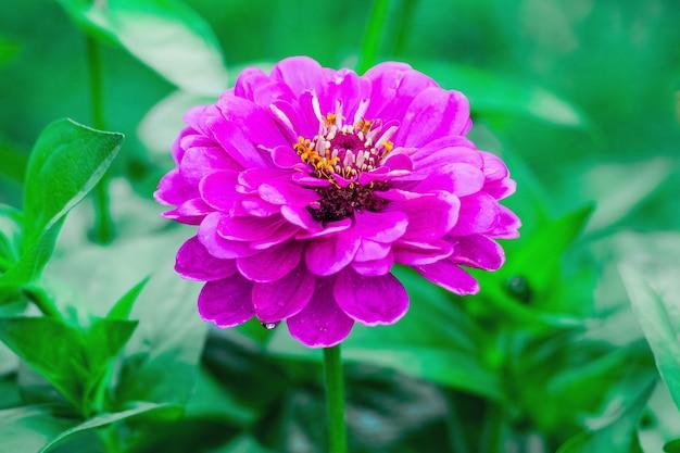花壇の公園の緑の葉を背景にピンクの百日草_