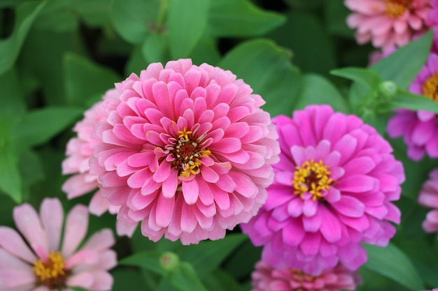 Pink zinnia violace flower top view bloosom flower in the nature  background