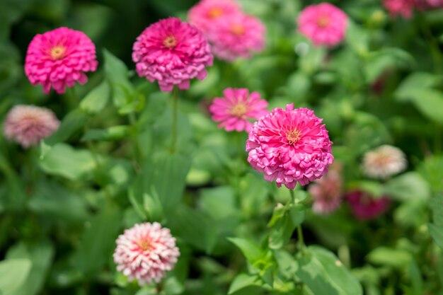 Pink zinnia violacea flowers in the garden