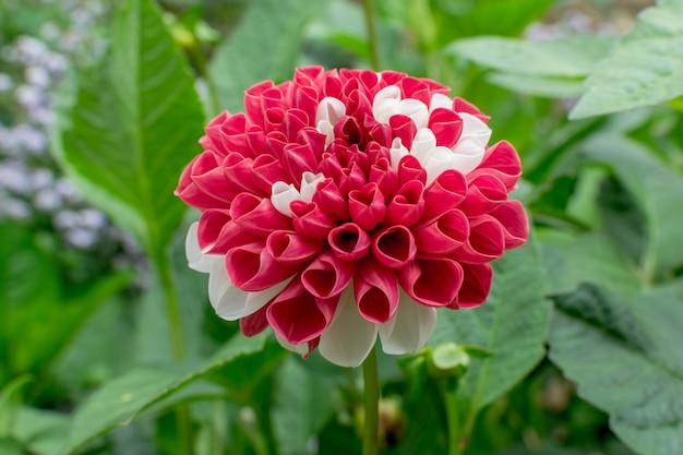 赤と白のダリアpinnata花