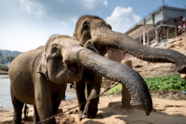ピンナワラ象孤児院、スリランカ