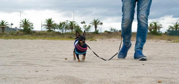 Пинчер гуляет со своим хозяином на пляже