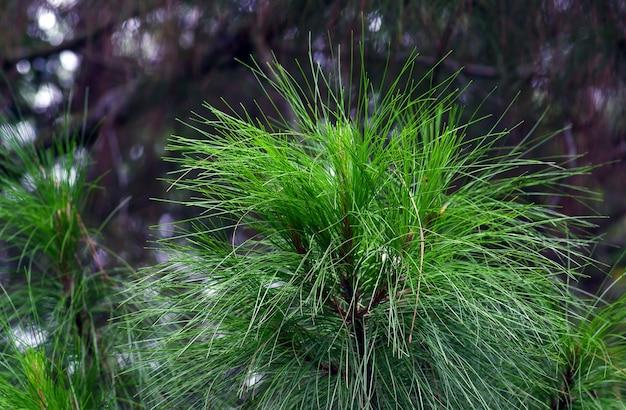 Pinus merkusii (сосна меркус или суматранская сосна) в лесу