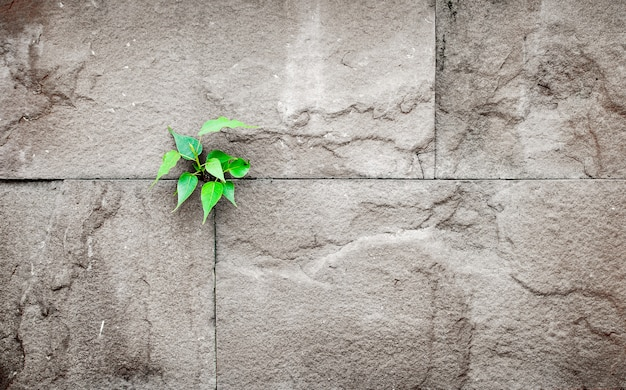 Pipal leaf growing through crack in old sand stone wall,survival concept