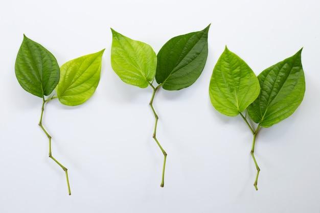 Зеленые листья бетеля, свежий piper betle на белом