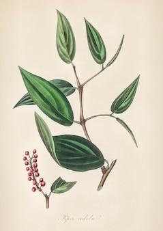 Piper cubeba illustration from medical botany (1836)