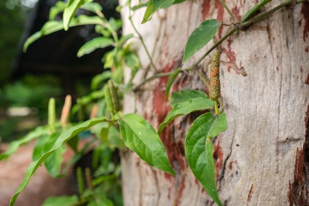 Piper sarmentosum roxb thailand herb and vegetable