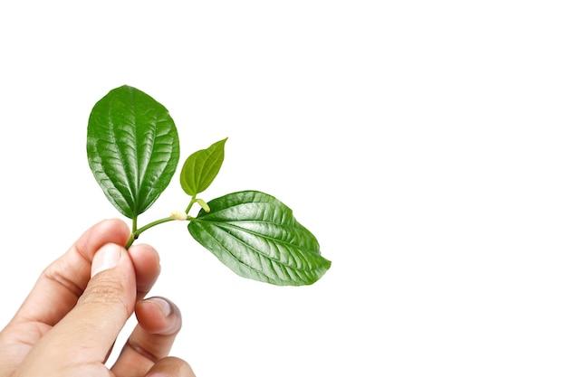 Piper sarmentosum or wildbetal leafbush thai herb.green leaf