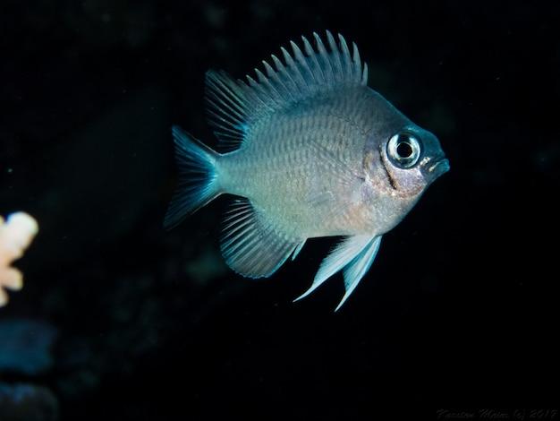 Piranha fish hungry