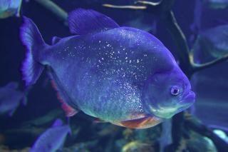 Piranha acqua
