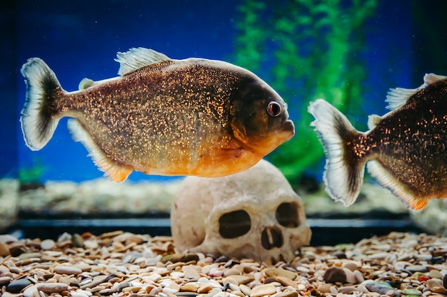 Piranhas are floating on a human skull. pygocentrus nattereri.