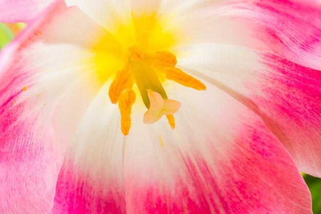 Пестики и тычинки тюльпана