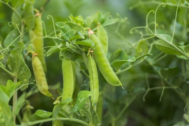Pisum sativum, pea, garden peas in garden