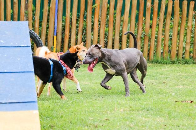 ピットブル犬や他の子犬が公園で遊んで楽しんでいます。セレクティブフォーカス。