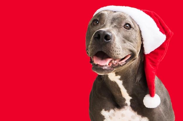 산타 클로스를 기다리는 크리스마스에 대 한 흰색 배경에 고립 된 빨간 산타 모자에 핏불 개