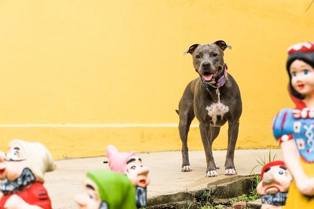 Питбуль на заднем дворе дома. питбуль голубой нос с глазами цвета меда. дом с желтой стеной и садом.