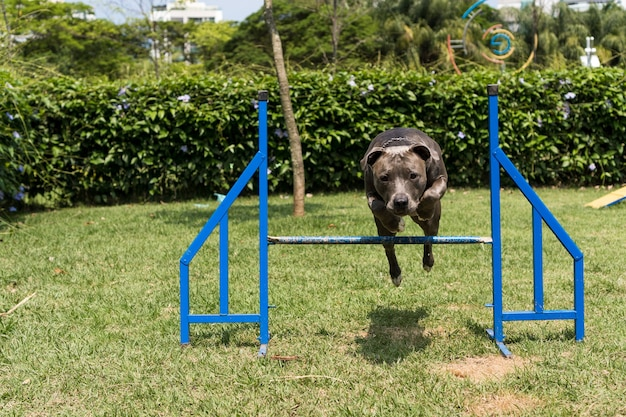 Pit bull dog jumping the obstacles while practicing agility and playing in the dog park. dog place with toys like a ramp and tire for him to exercise.