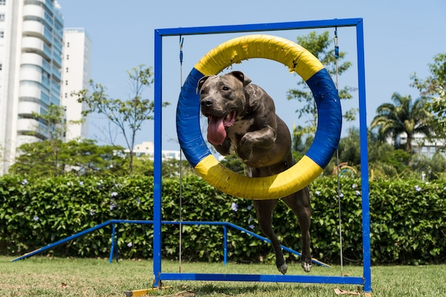 敏捷性を練習し、ドッグランで遊んでいる間、ピットブル犬がタイヤをジャンプします。彼が運動するためのスロープや障害物のようなおもちゃのある犬の場所。