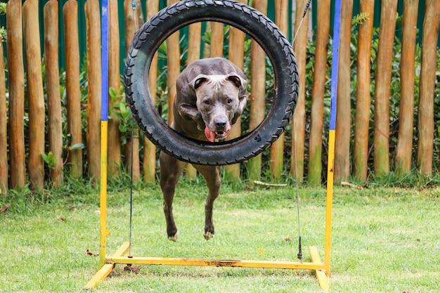 敏捷性を練習し、ドッグランで遊んでいる間、ピットブル犬がタイヤをジャンプします。彼が運動するためのスロープやタイヤのようなおもちゃのある犬の場所。