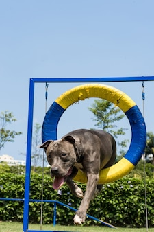 Pit bull dog jumping the tire while practicing agility and playing in the dog park. dog place with toys like a ramp and obstacles for him to exercise.