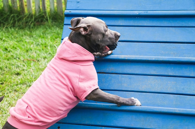 The pit bull dog in a pink sweatshirt climbs the ramp while practicing agility and playing in the dog park. dog space with ramp-type toys and tires for him to exercise.