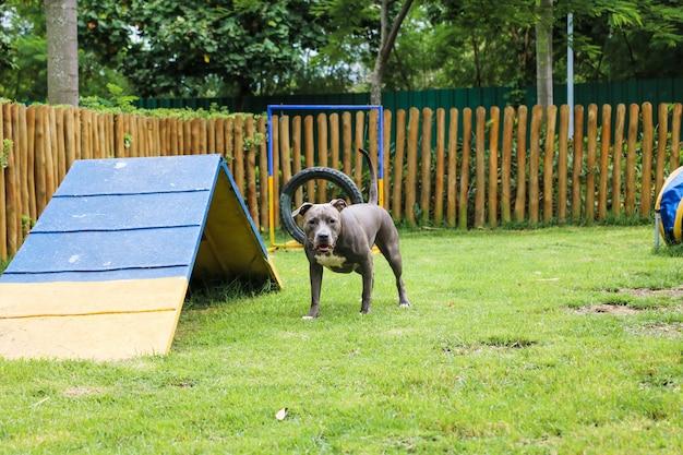 公園で遊んで楽しんでいるピットブル犬。セレクティブフォーカス。