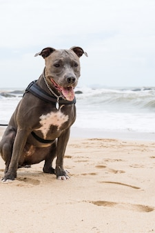 Pit bull dog playing on the beach, enjoying the sea and sand. sunny day. selective focus.