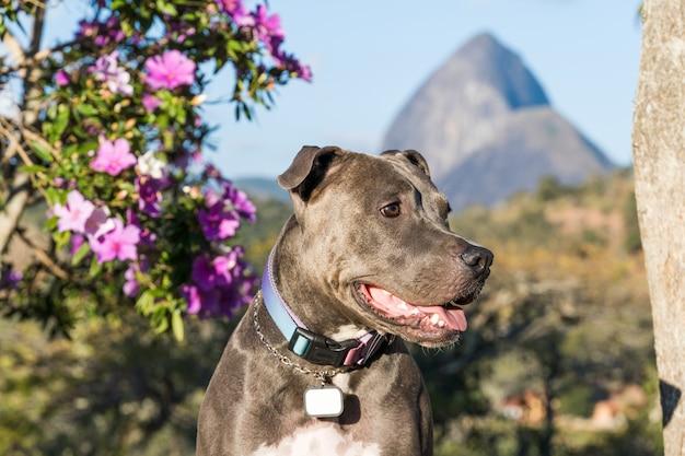 日没時にオープンフィールドで遊ぶピットブル犬。緑の草と背景の美しい景色と晴れた日のピットブル青い鼻。セレクティブフォーカス。