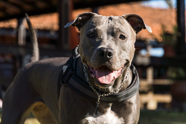 Питбуль собака играет в открытом поле на закате. голубой нос pitbull в солнечный день с зеленой травой и прекрасным видом на заднем плане. выборочный фокус.