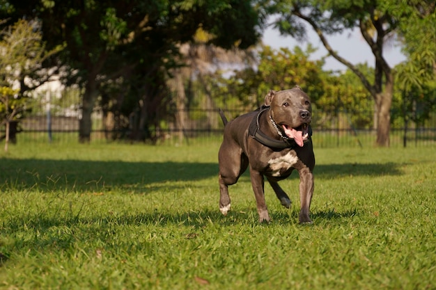 日没時に公園で遊んでいるピットブル犬。晴れた日の青い鼻のピットブルと自然豊かな開放的な田園地帯。