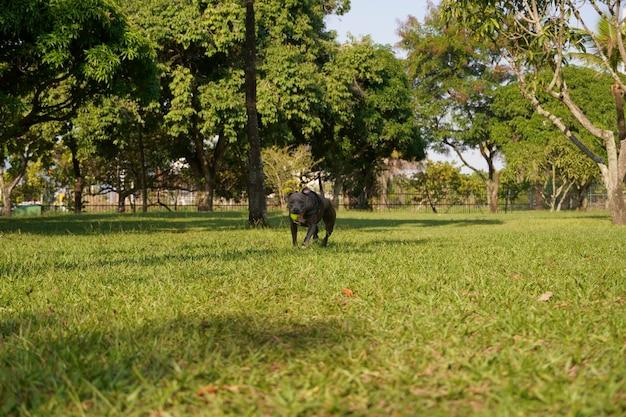 日没の晴れた日に公園で遊んでいるピットブル犬と自然の多い田園地帯を開く Premium写真
