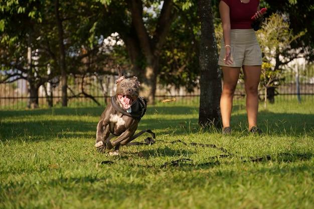 日没の晴れた日に公園で遊んでいるピットブル犬と自然の多い田園地帯を開く