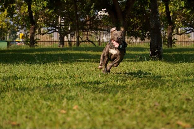 Собака питбуль играет в парке на закате солнечного дня и открытой сельской местности с большим количеством природы