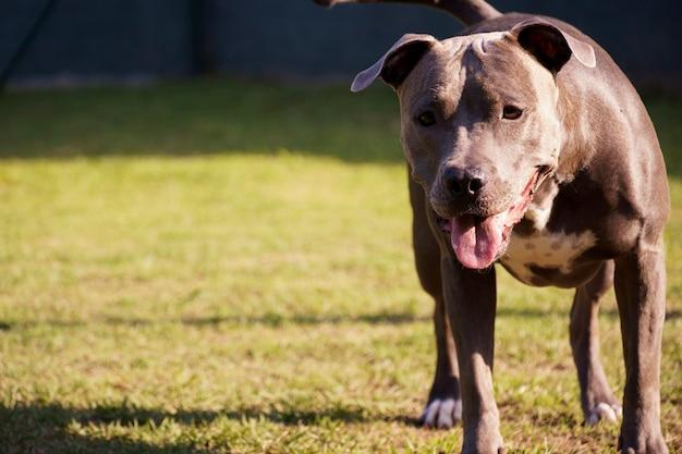 공원에서 노는 핏불 개. 푸른 잔디와 개 장소입니다. 그가 운동할 수 있는 경사로와 같은 장난감.